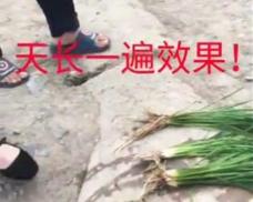 水稻天长一遍效果